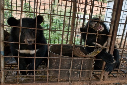 Endangered asiatic black bears captured and caged to be sold in Mong La, Burma