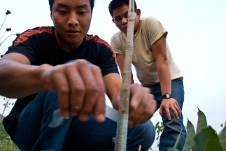 Two workers on a rubber plantation in Mong La, Burma graft saplings in the field. The rubber is tapped and shipped to china to manufacture car tires for the booming auto industry.