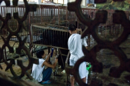 Bear bile is extracted from live (endangered) asiatic black bears in a warehouse in Mong La, Burma. The bile is bottled and sold to the Chinese as a health tonic.